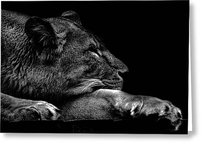 Lions Greeting Cards - The Sleeping Lion Greeting Card by Martin Newman