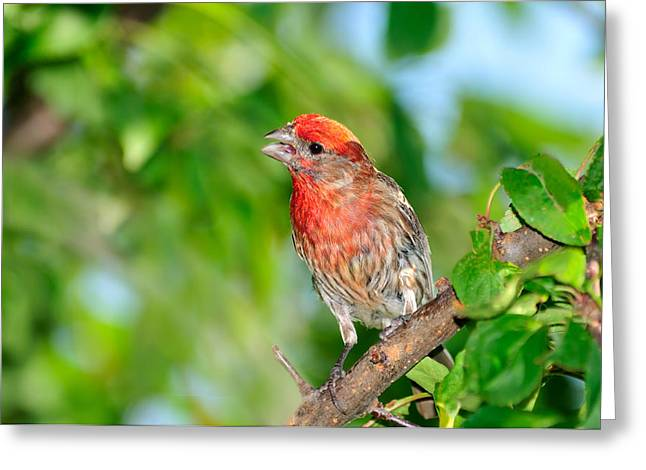 House Finch Greeting Cards - The Song Greeting Card by Betty LaRue