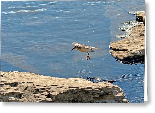 Print Photographs Greeting Cards - The Spotted Sandpiper Greeting Card by Asbed Iskedjian