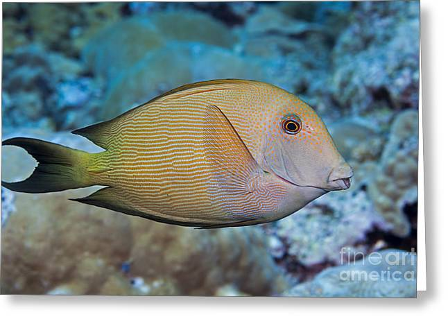 Acanthuridae Greeting Cards - The Striated Surgeonfish  Ctenochaetus Greeting Card by Dave Fleetham