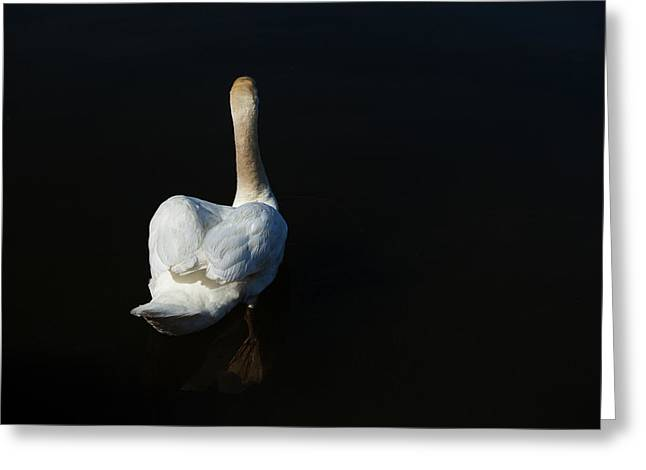 Mute Swan Greeting Cards - The Swan Paddle Greeting Card by Karol  Livote