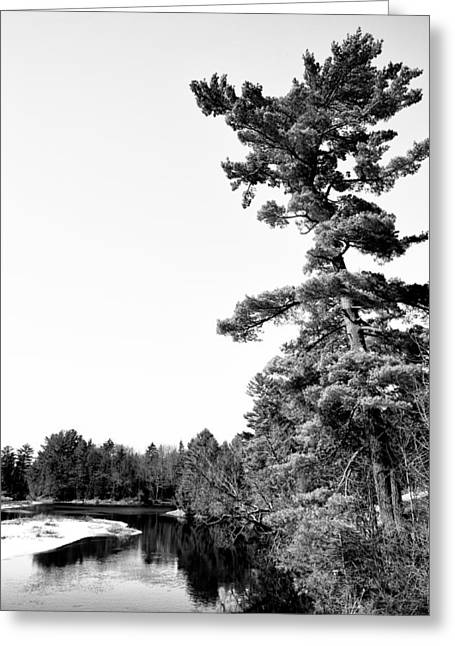 Old And New Greeting Cards - The Tall Pine on the Moose Greeting Card by David Patterson