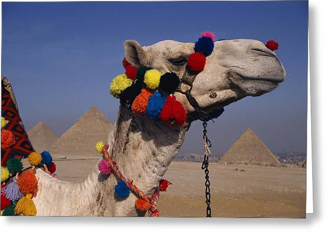 Dromedary Greeting Cards - The Three Great Pyramids Of Giza Greeting Card by Stephen St. John