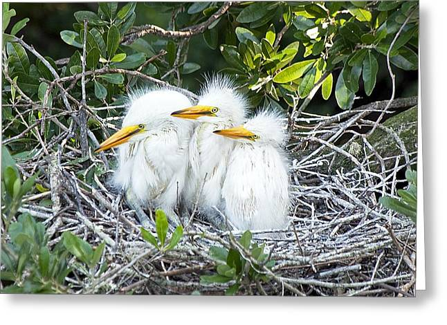Great Egret Greeting Cards - The Three Stooges Greeting Card by Kenneth Albin