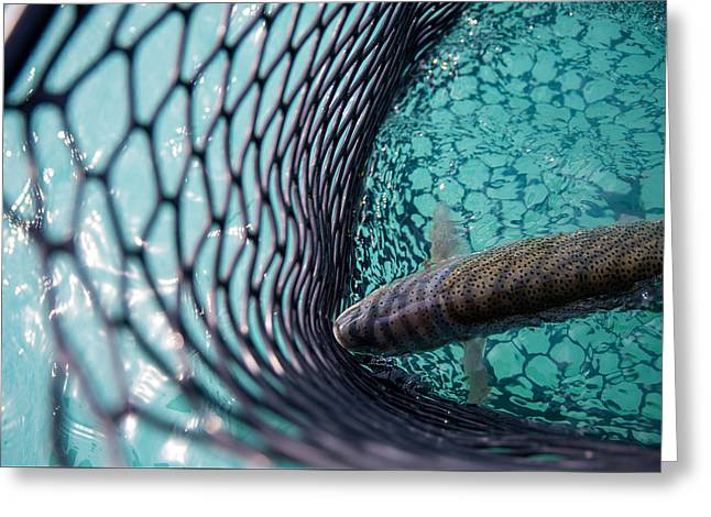 Rainbow Trout Greeting Cards - The Turquoise Trout Greeting Card by Peak Photography by Clint Easley