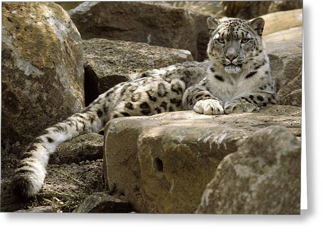 Snow-coated Greeting Cards - The Watchful Stare Of A Snow Leopard Greeting Card by Jason Edwards