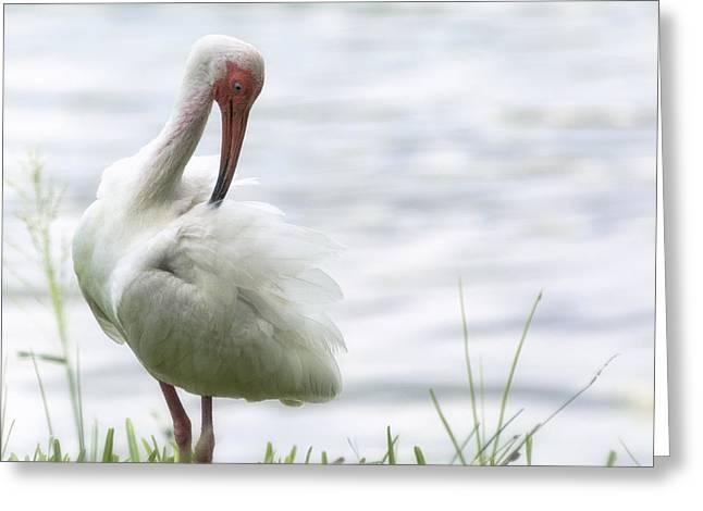 Ibis Greeting Cards - The White Ibis  Greeting Card by Saija  Lehtonen