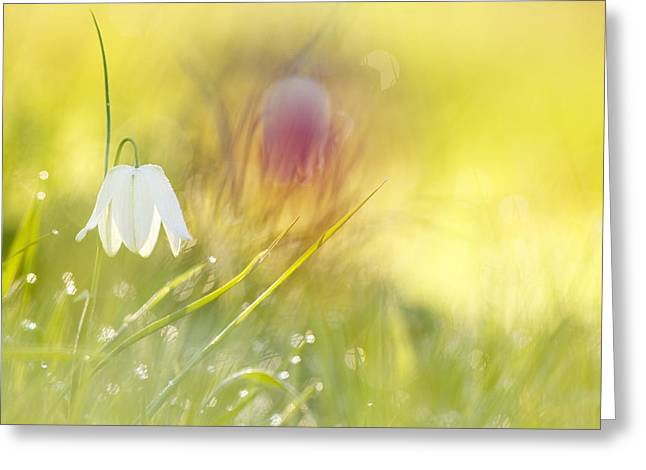 Fritillaria Greeting Cards - The White Queen Greeting Card by Roeselien Raimond