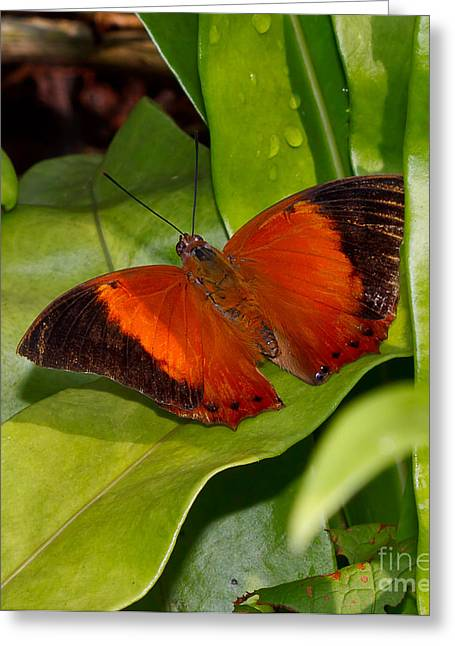Nymphalidae Greeting Cards - The Wizard butterfly Greeting Card by Louise Heusinkveld