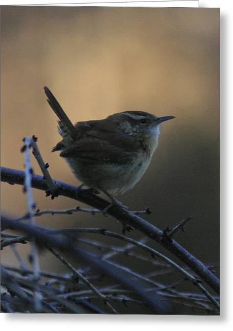 Wrens Greeting Cards - The Wren Greeting Card by Christopher Kirby