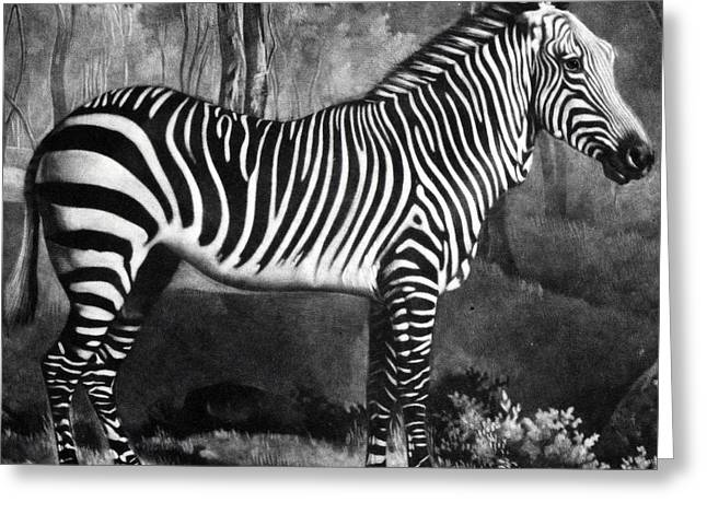 The Zebra Greeting Card by George Stubbs