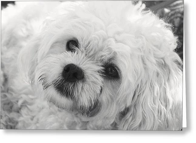 Maltese Greeting Cards - Theres Something About Sophia Greeting Card by Lisa  DiFruscio