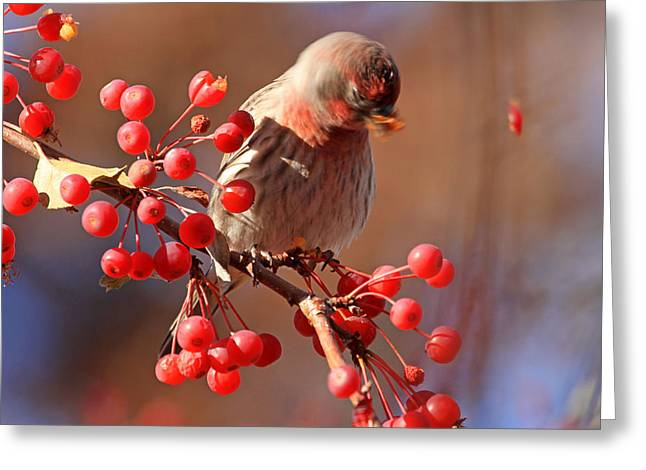 Finch Greeting Cards - These Berries Are Making Me Dizzy  Greeting Card by Donna Kennedy