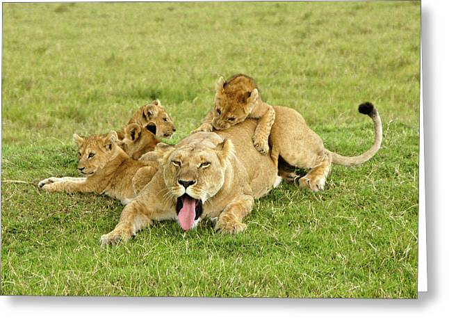Lioness Greeting Cards - These Kids are Driving Me Nuts Greeting Card by Michele Burgess