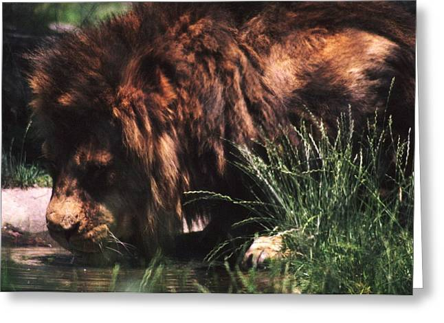 Lions Greeting Cards - Thirsty King Greeting Card by Gordon Castle