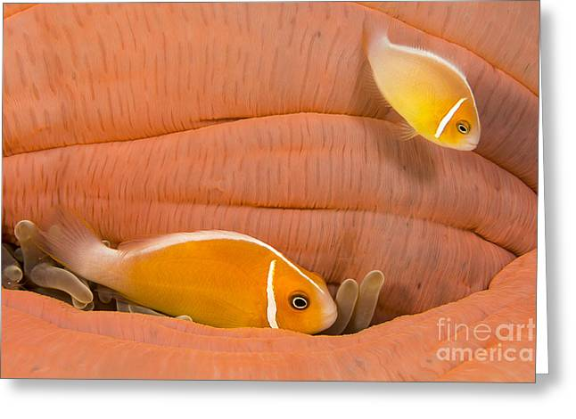 Undersea Photography Greeting Cards - This Common Anemonefish  Amphiprion Greeting Card by Dave Fleetham