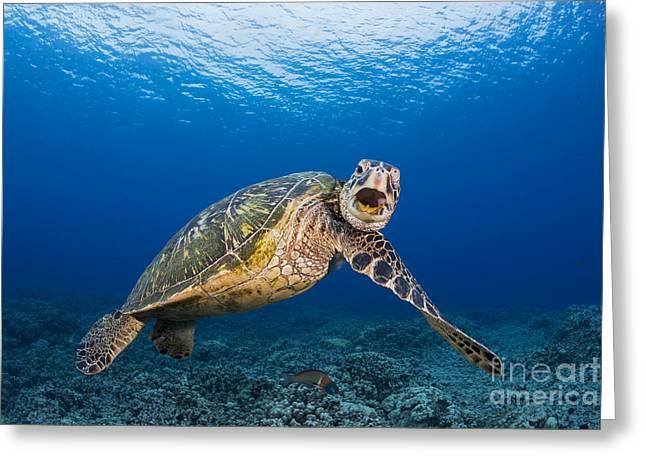 Niihau Hawaii Greeting Cards - Green Sea Turtle Greeting Card by Dave Fleetham