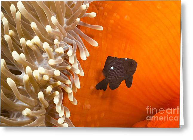 Yap Greeting Cards - Juvenile Three Spot Damselfish Greeting Card by Dave Fleetham