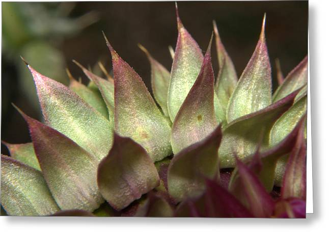 Wild Flowers Of Texas Greeting Cards - Thistle 2 Greeting Card by Karen Musick