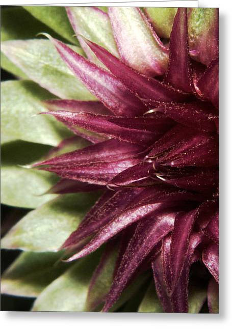 Wild Flowers Of Texas Greeting Cards - Thistle 4 Greeting Card by Karen Musick