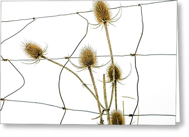Thistle Greeting Cards - Thistle in a snow Greeting Card by Bernard Jaubert
