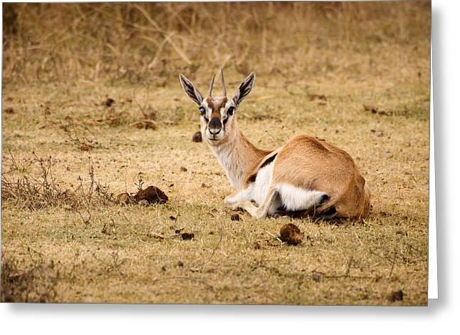 Gazelle Greeting Cards - Thomsons Gazelle Greeting Card by Adam Romanowicz