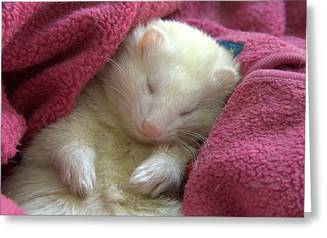 White Ferret Greeting Cards - Thoradorable Greeting Card by Nigel Espley