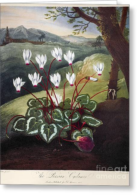 1804 Greeting Cards - Thornton: Cyclamen Greeting Card by Granger