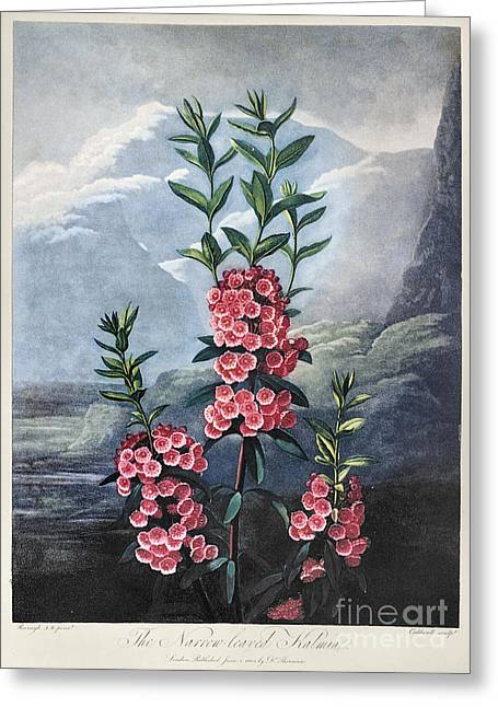 1804 Greeting Cards - Thornton: Kalmia Greeting Card by Granger