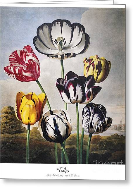 Thornton: Tulips Greeting Card by Granger
