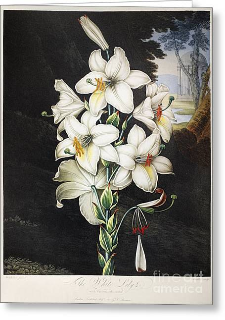 Candidum Greeting Cards - Thornton: White Lily Greeting Card by Granger