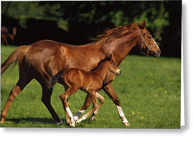 Full Body Greeting Cards - Thoroughbred Chestnut Mare & Foal Greeting Card by The Irish Image Collection