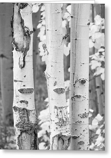 Commercial Space Greeting Cards - Three Aspens In Black and White  Greeting Card by James BO  Insogna