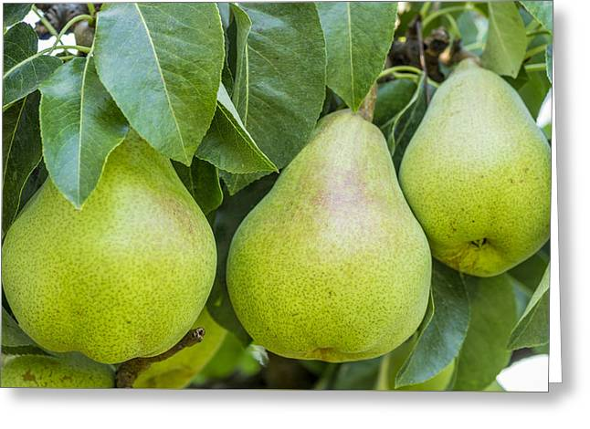 Fruit Tree Art Greeting Cards - Three Bartlett pears on the tree Greeting Card by John Trax