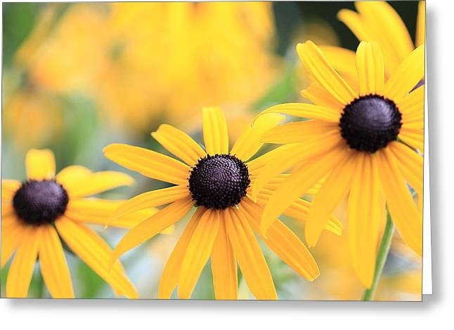 Green And Yellow Greeting Cards - Three Black Eyed Susans in a Row Greeting Card by Angela Murdock