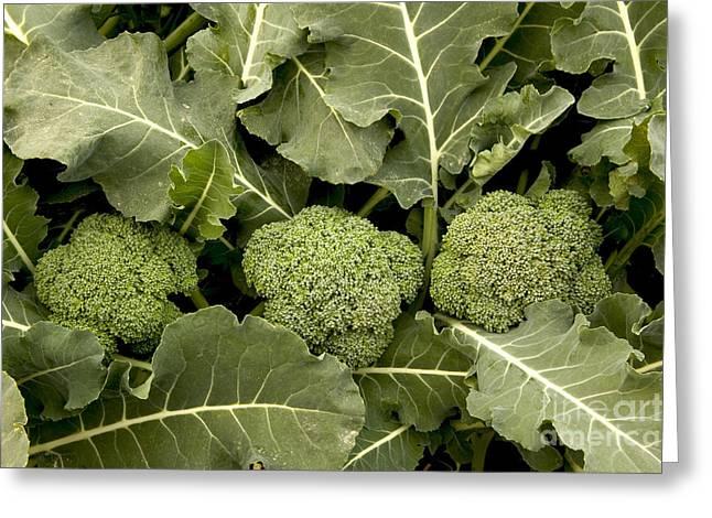 Broccoli Greeting Cards - Three Broccoli Crowns Greeting Card by Inga Spence