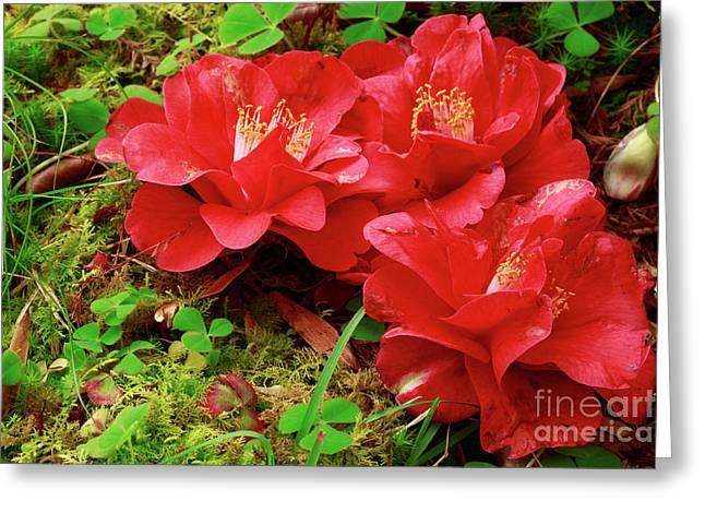 Camellia Japonica Greeting Cards - Three camellias Greeting Card by Gaspar Avila