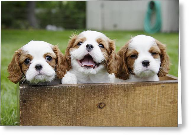 Happy Dogs Cute Dogs Greeting Cards - Three Cocker Spaniels Peeking Greeting Card by Gillham Studios