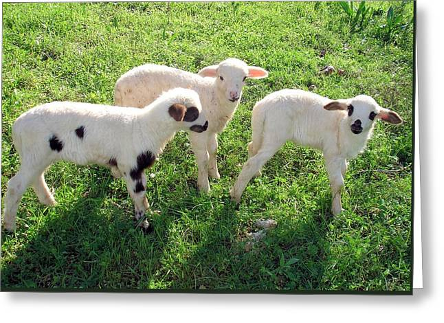Naivety Greeting Cards - Three Cute Spring Lambs Greeting Card by Tracey Harrington-Simpson