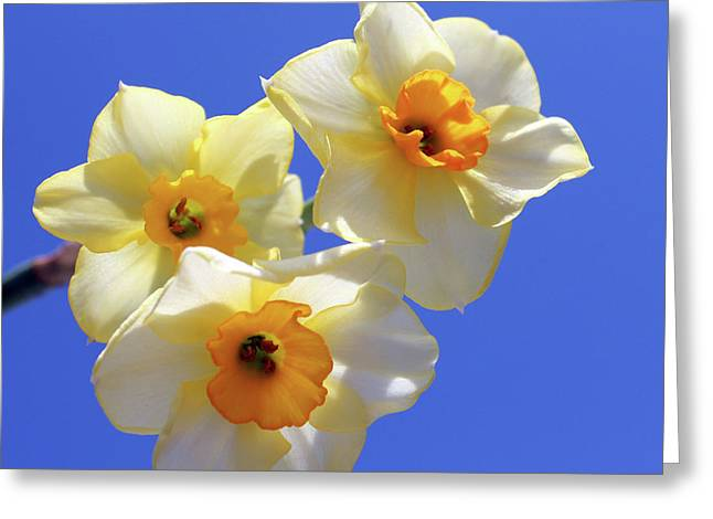Interior Still Life Greeting Cards - Three Daffodils Greeting Card by Judy Vincent