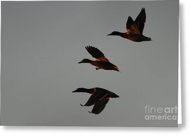 Morgan Hill Greeting Cards - Three Duck Night Greeting Card by Morgan Hill