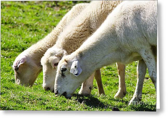 Appalachian Farm Greeting Cards - Three Ewes Greeting Card by Thomas R Fletcher