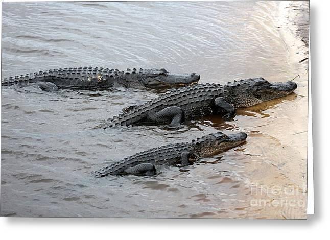 Florida Gators Photographs Greeting Cards - Three Gators on Riverbank Greeting Card by Carol Groenen