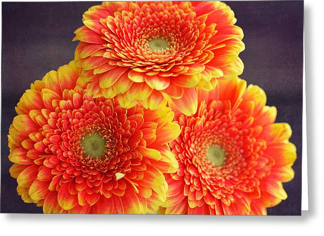 Three Gerberas Oio Greeting Card by SK Pfphotography