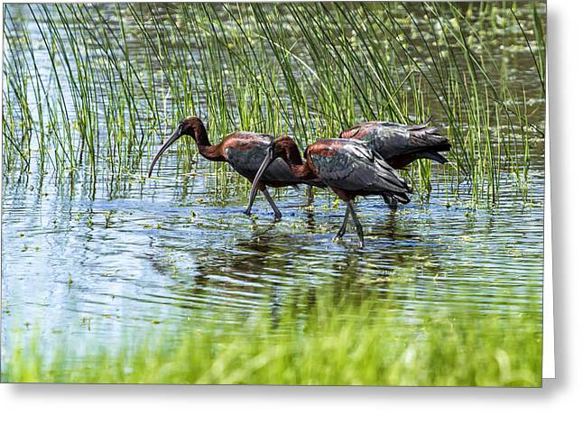 Nature Greeting Cards - Three Glossy Ibis Greeting Card by Belinda Greb