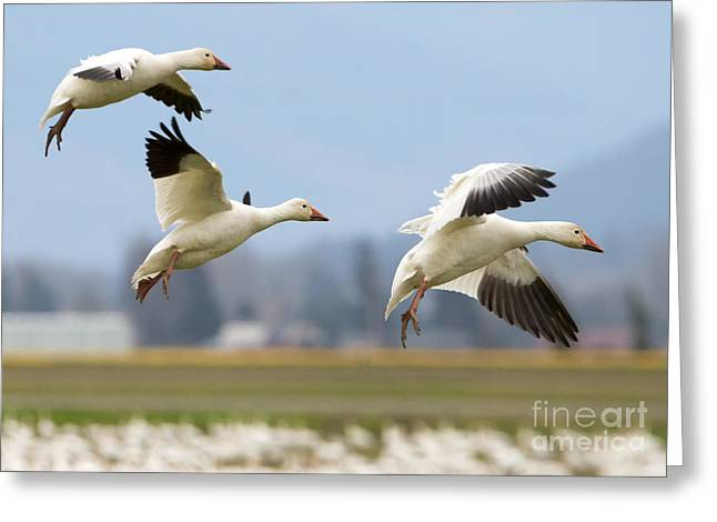Migration Greeting Cards - Three Landing Greeting Card by Mike Dawson