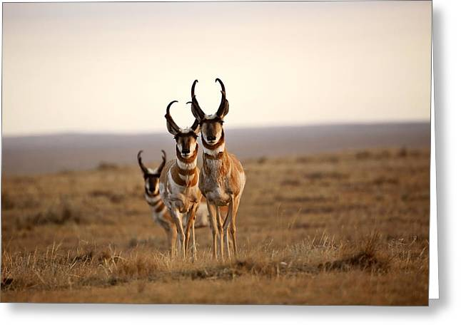 Pronghorn Greeting Cards - Three male Pronghorn Antelopes in Alberta Greeting Card by Mark Duffy