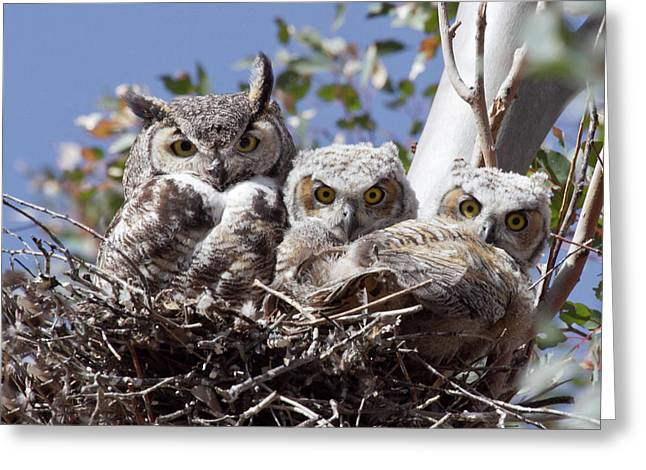 Owlets Greeting Cards - Three pairs of eyes Greeting Card by Elvira Butler