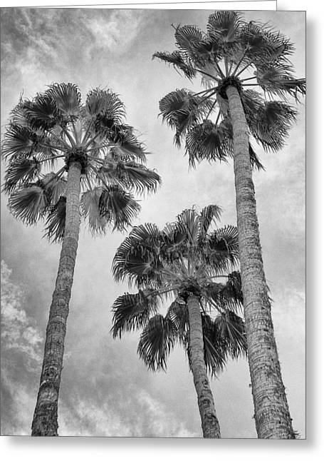 Three Palms Bw Palm Springs Greeting Card by William Dey