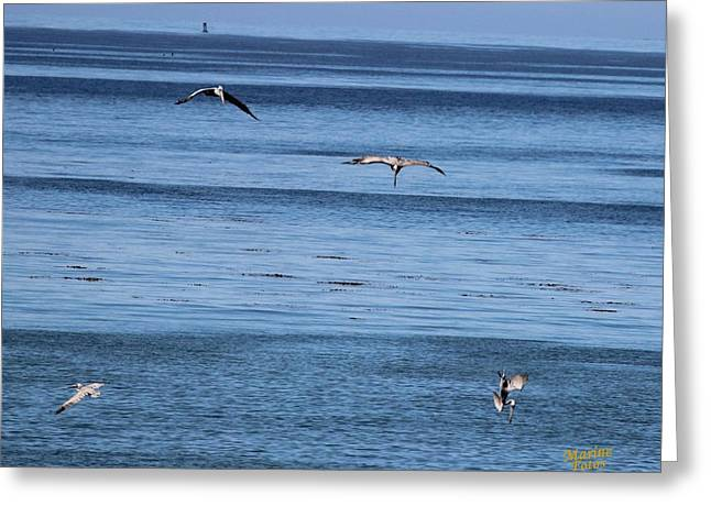 Diving In California Greeting Cards - Three Pelicans Diving Greeting Card by Gary Canant